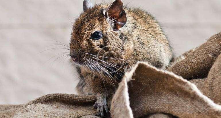 Mice, Rats & Pest Extermination