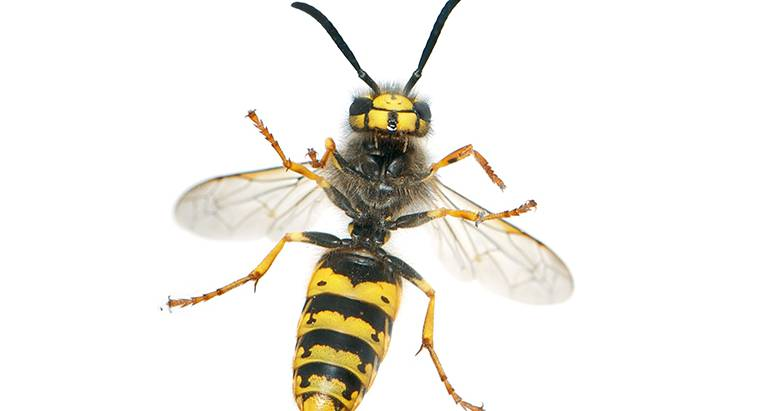 Wasps or Yellow Jackets