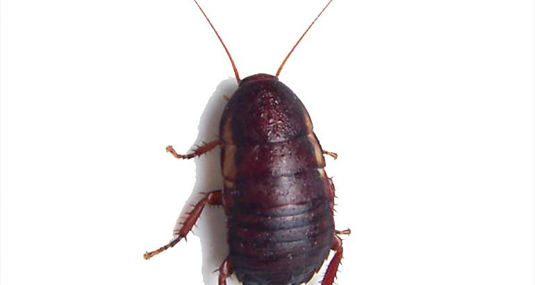 Florida Woods Cockroach